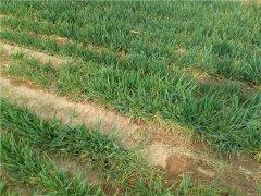 土壤养分速测仪指导冬小麦合理施肥